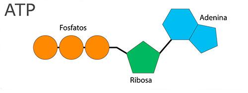 El adenosín trifosfato (ATP) es una molécula que consta de una purina (adenosina), un azúcar (ribosa), y tres grupos fosfato.
