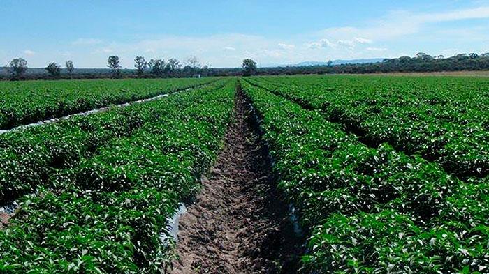 cultivo-de-chiles-hortalizas