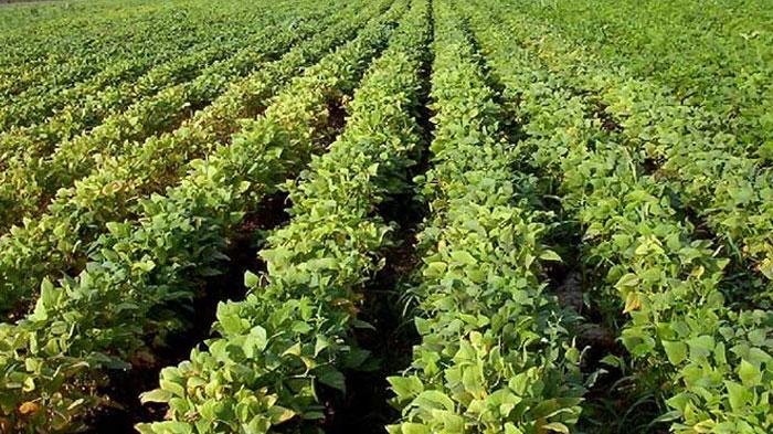 cultivo-de-leguminosas