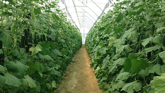cultivo-de-pepinos-hortalizas