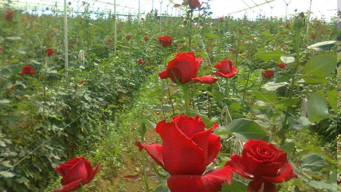 cultivo-de-rosas-ornamentales